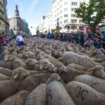 Schapen vullen de straten van Madrid